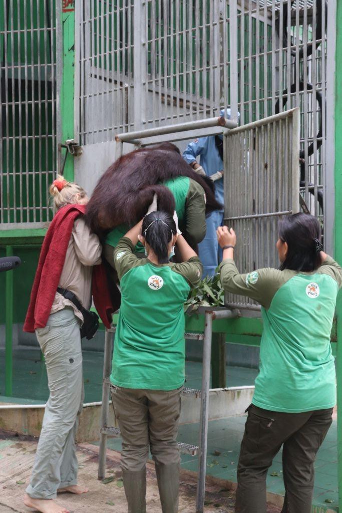 Robin wird nach der OP in sein Gehege getragen(c) Jejak Pulang | VIER PFOTEN | Agustina DS