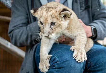 Löwenjunges für Unterhaltungszwecke missbraucht