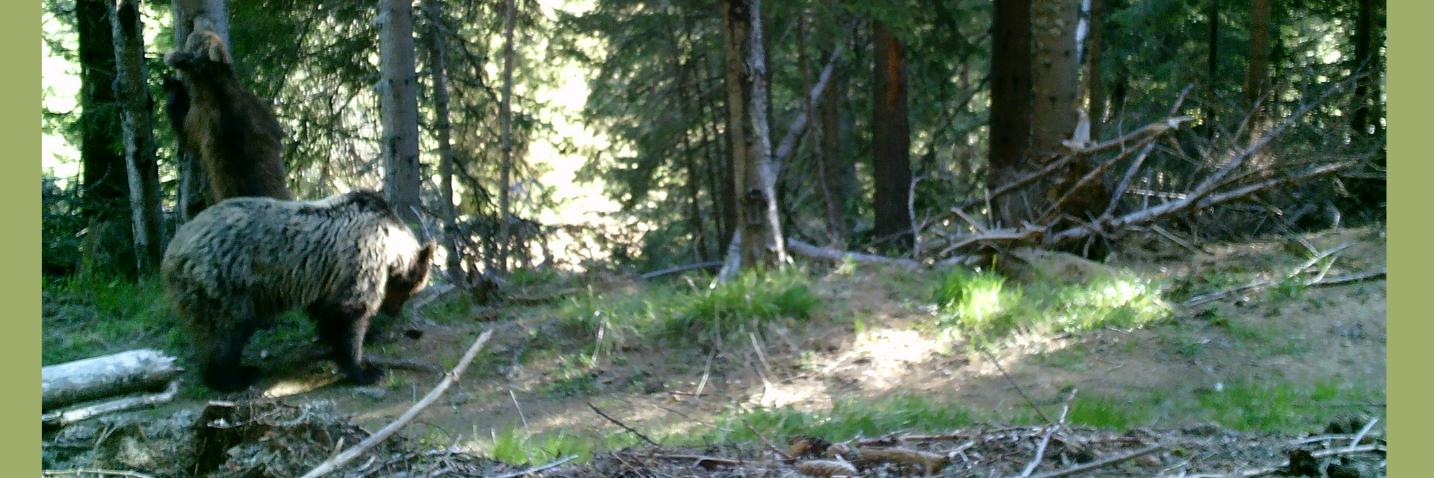 Мечка в Родопите