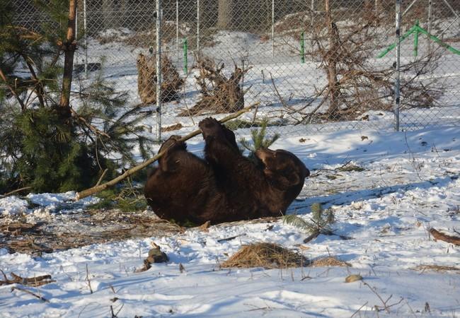 Bear Tyson enjoying the snow