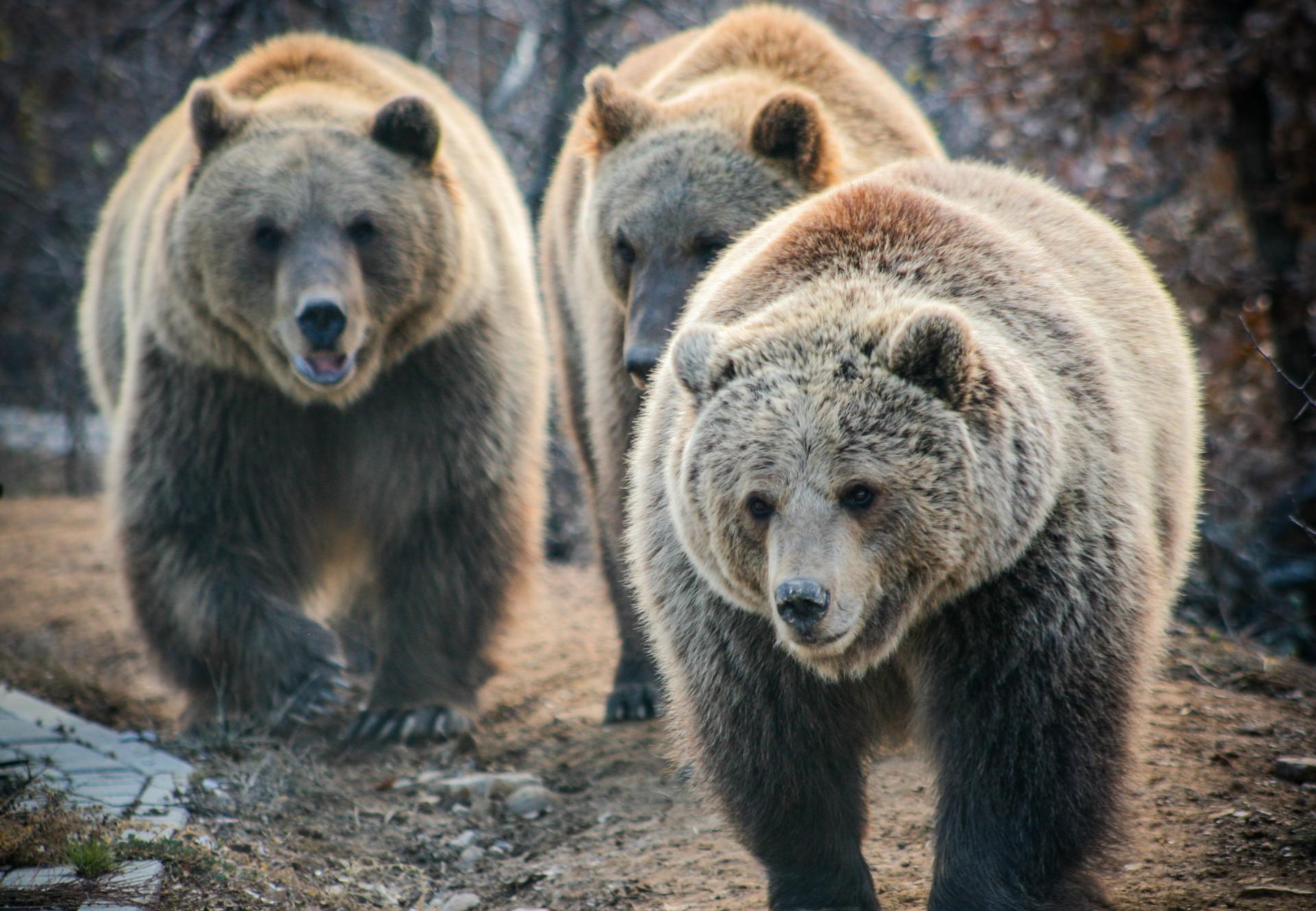 Brown bears Ema, Oska and Ron