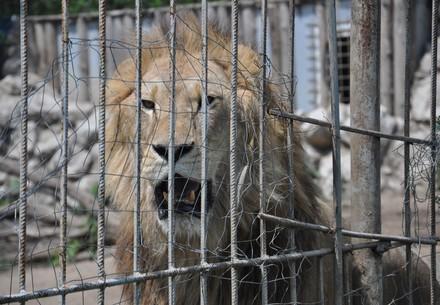 Help lion Simba and siblings