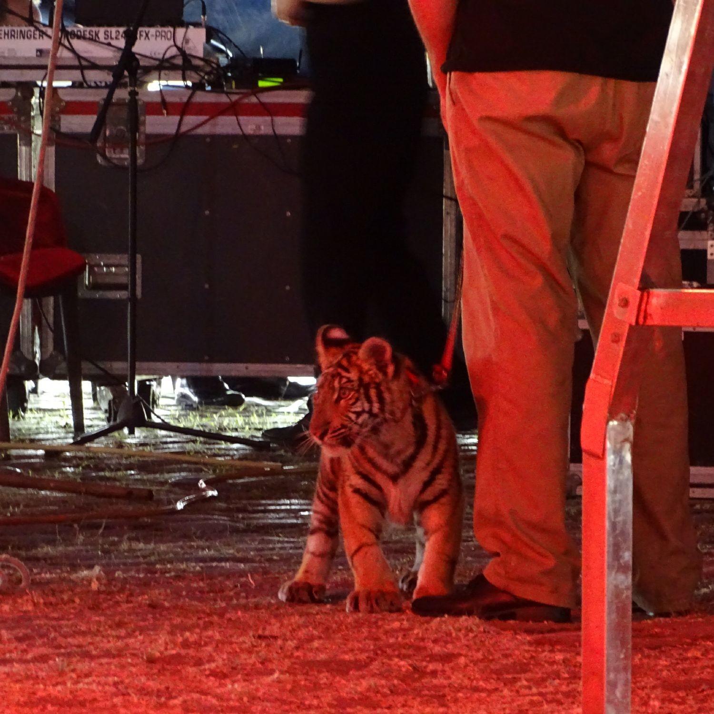 Tigerbaby in Gefangenschaft