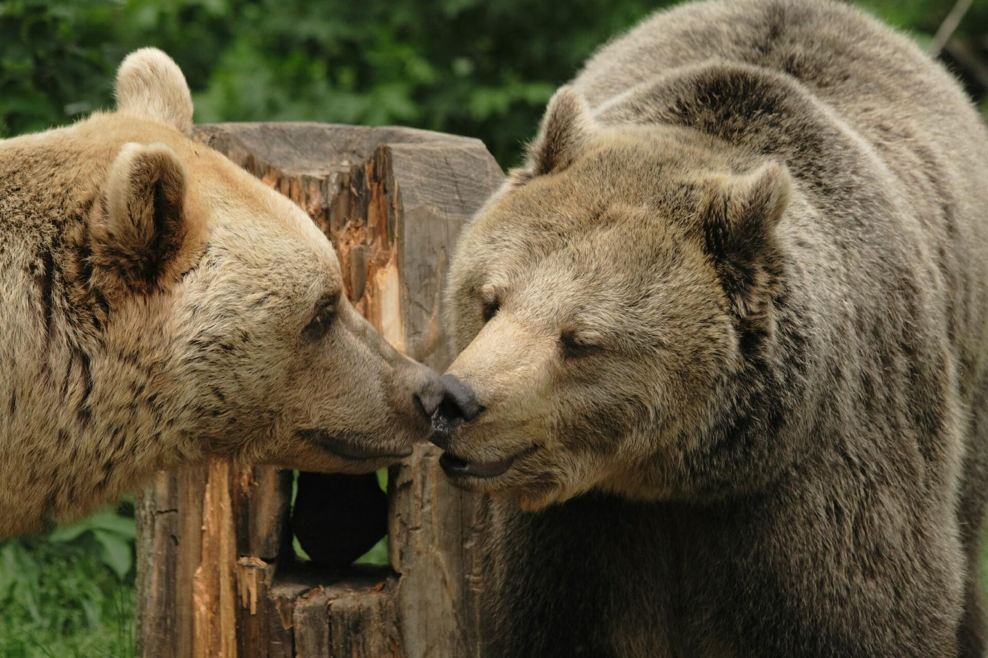 Bears Vinzenz and Brumca touching each others noses