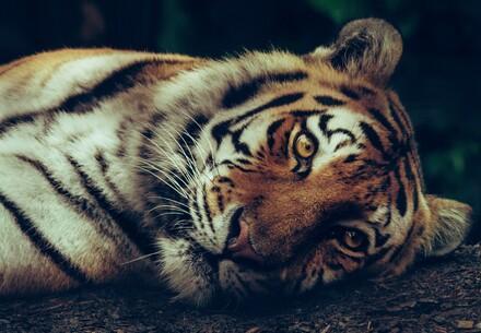 Tigerhandel in der EU