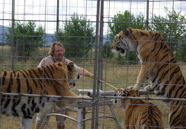 Dans le passé, les tigres étaient forcés d'effectuer des comportement non naturels lors de spectacles