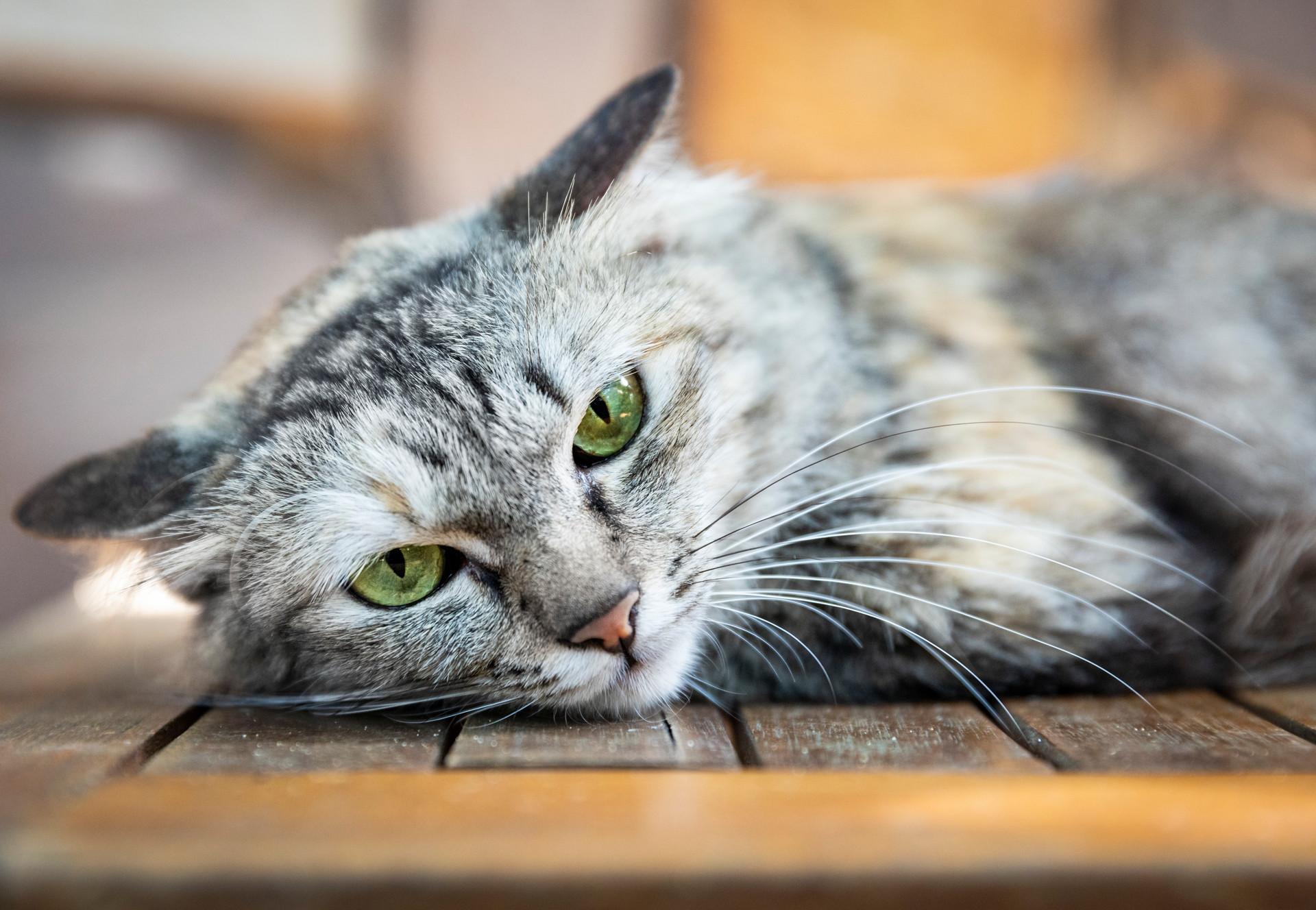 Cat Leila