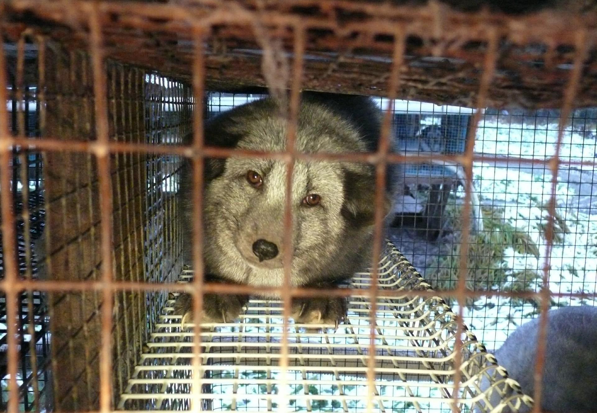 Finland, Fur Farms / November 2013 / Fur campaign / Arctic Fox