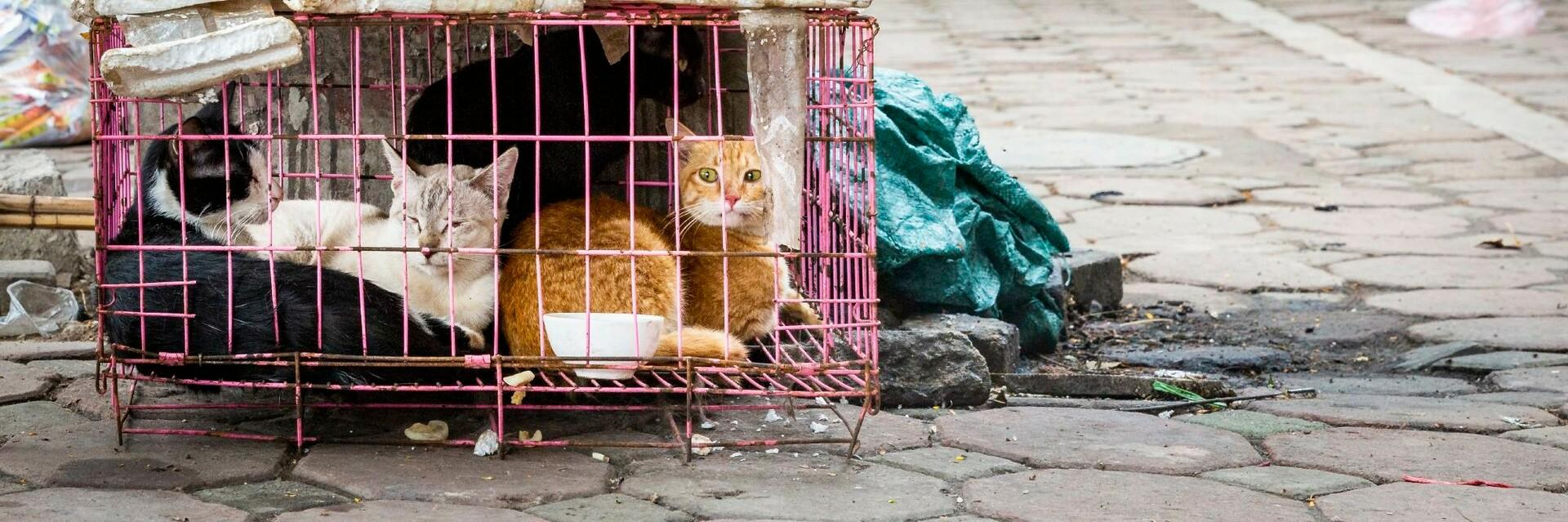 Cat in a cage in Vietnam