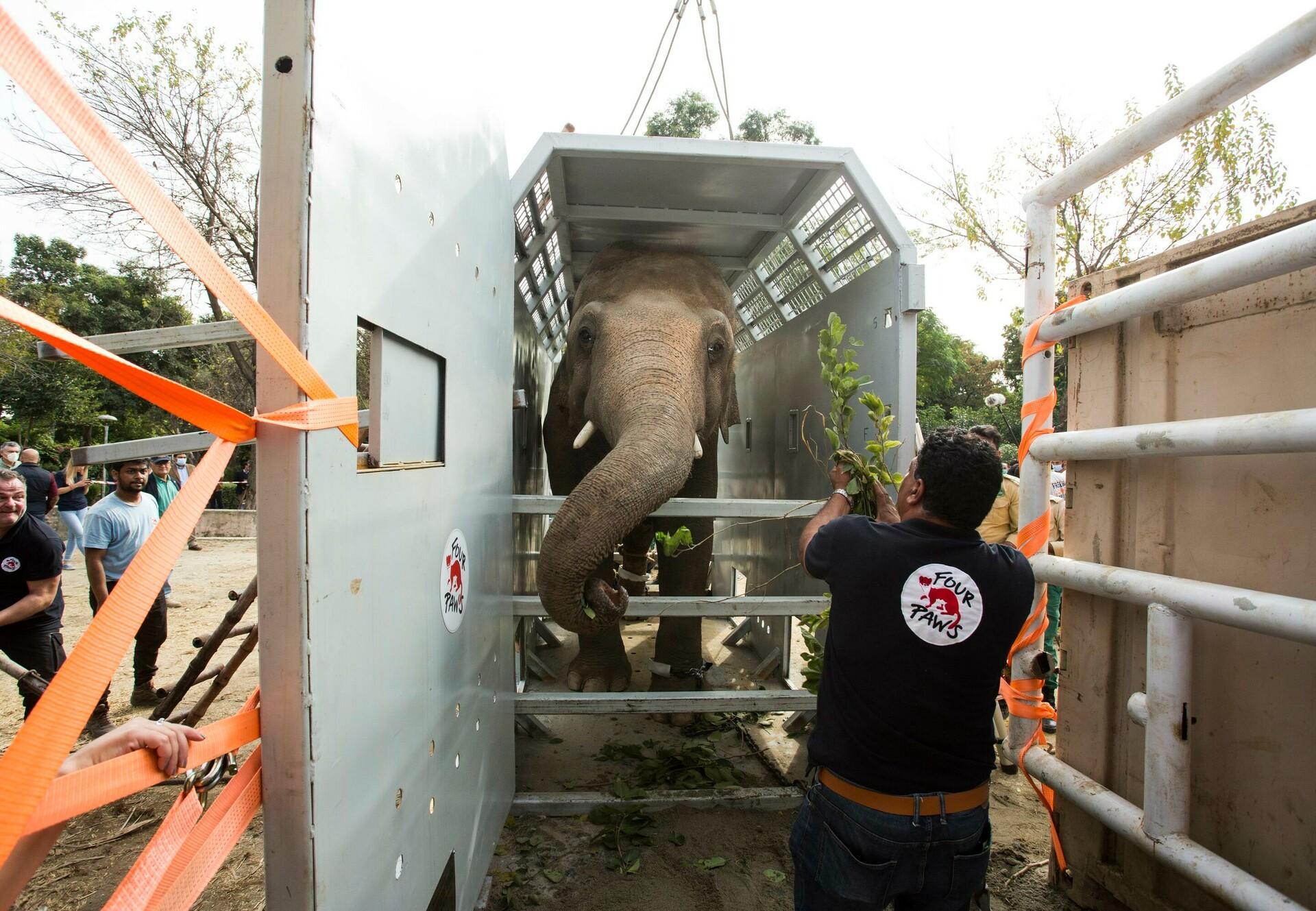 Verhuizing van olifant Kaavan