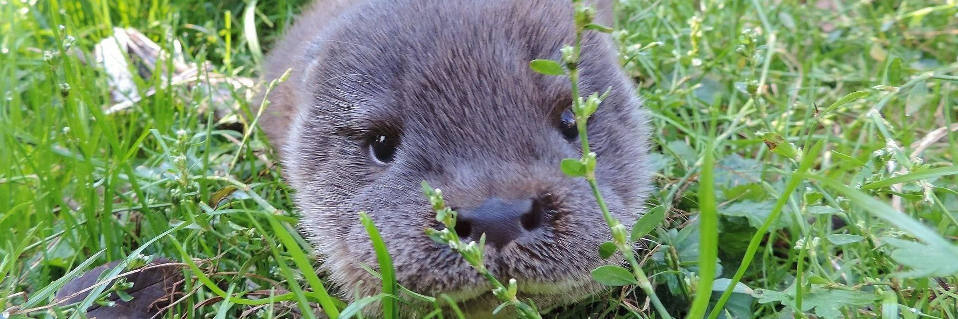 Otter in Haringsee