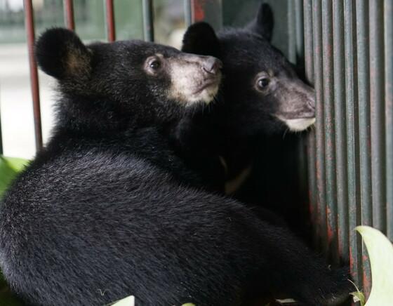Die geretteten Bärenjungen