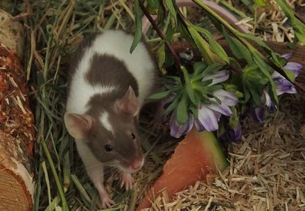 Les souris aiment manger des végétaux