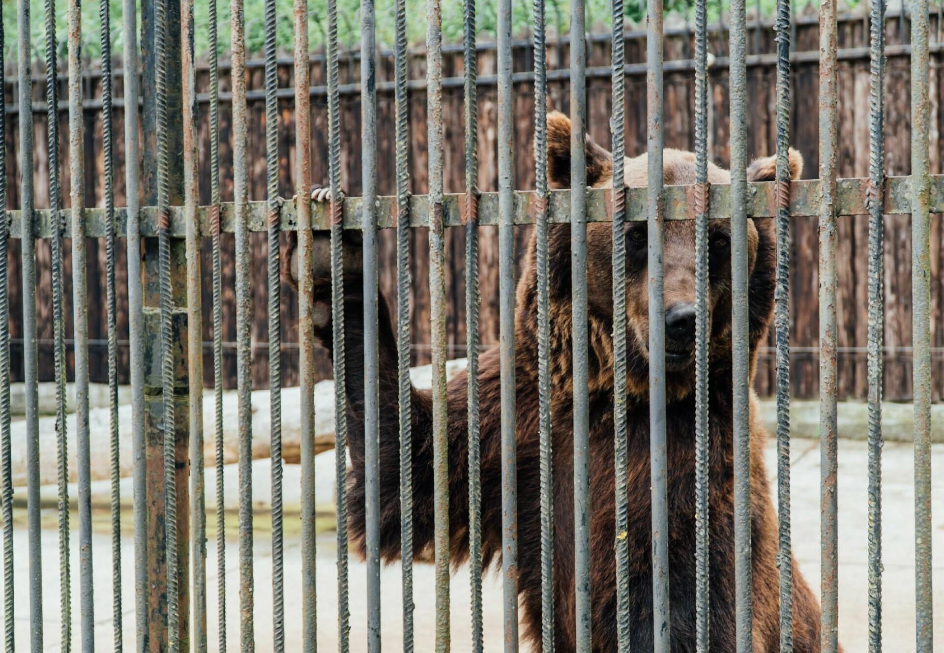 Bären in Gefangenschaft leiden