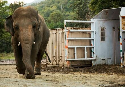 Elefant Kaavan