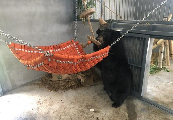 Asiatic black bear Thu at BEAR SANCTUARY Ninh Binh