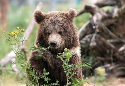 Bear Andor at BEAR SANCTUARY