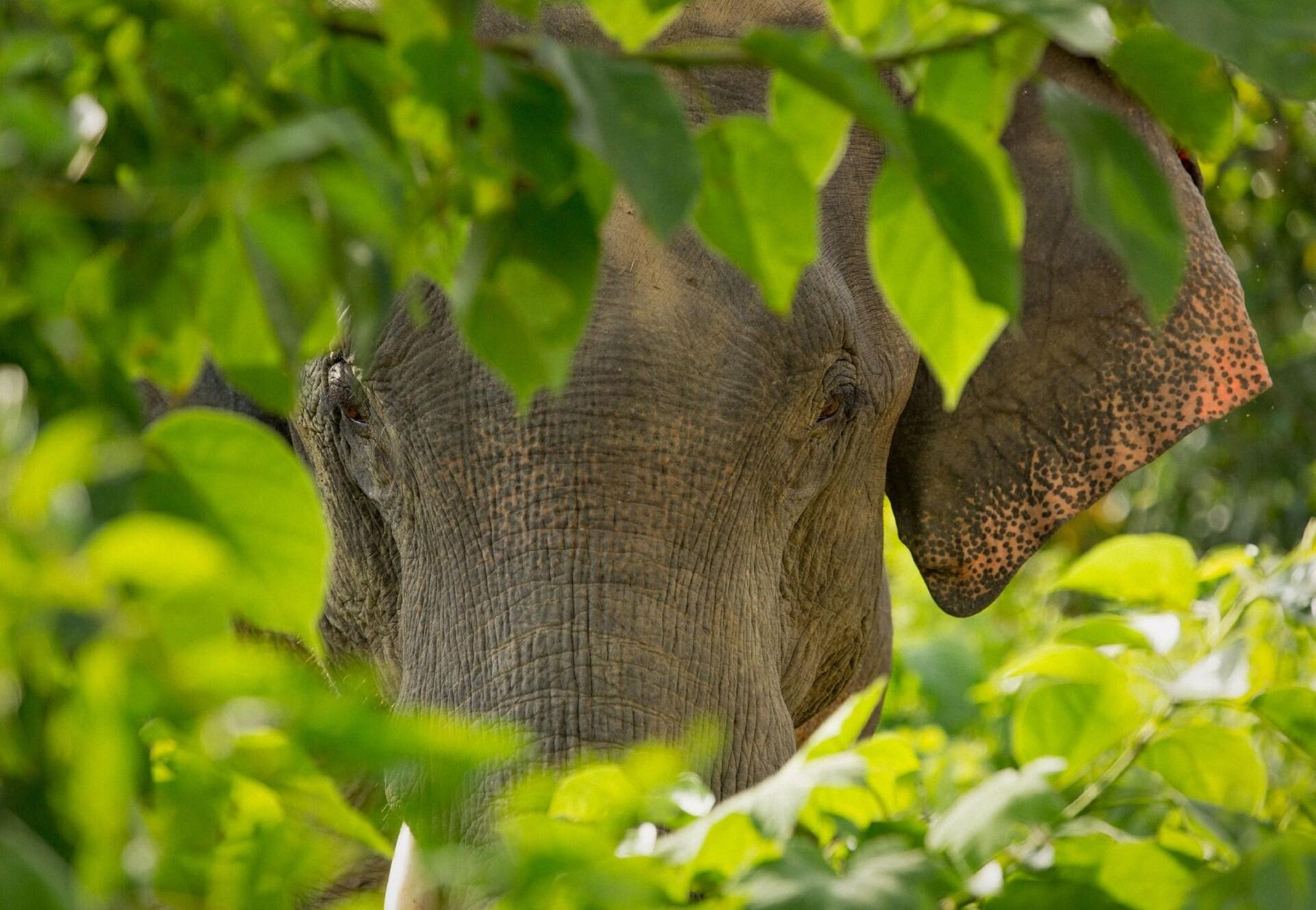 Elefant schaut durch Blätter in die Kamera