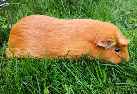 Une alimentation saine pour les cochons d'Inde