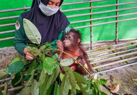 Orphan Damai arrives at the ORANGUTAN FOREST SCHOOL