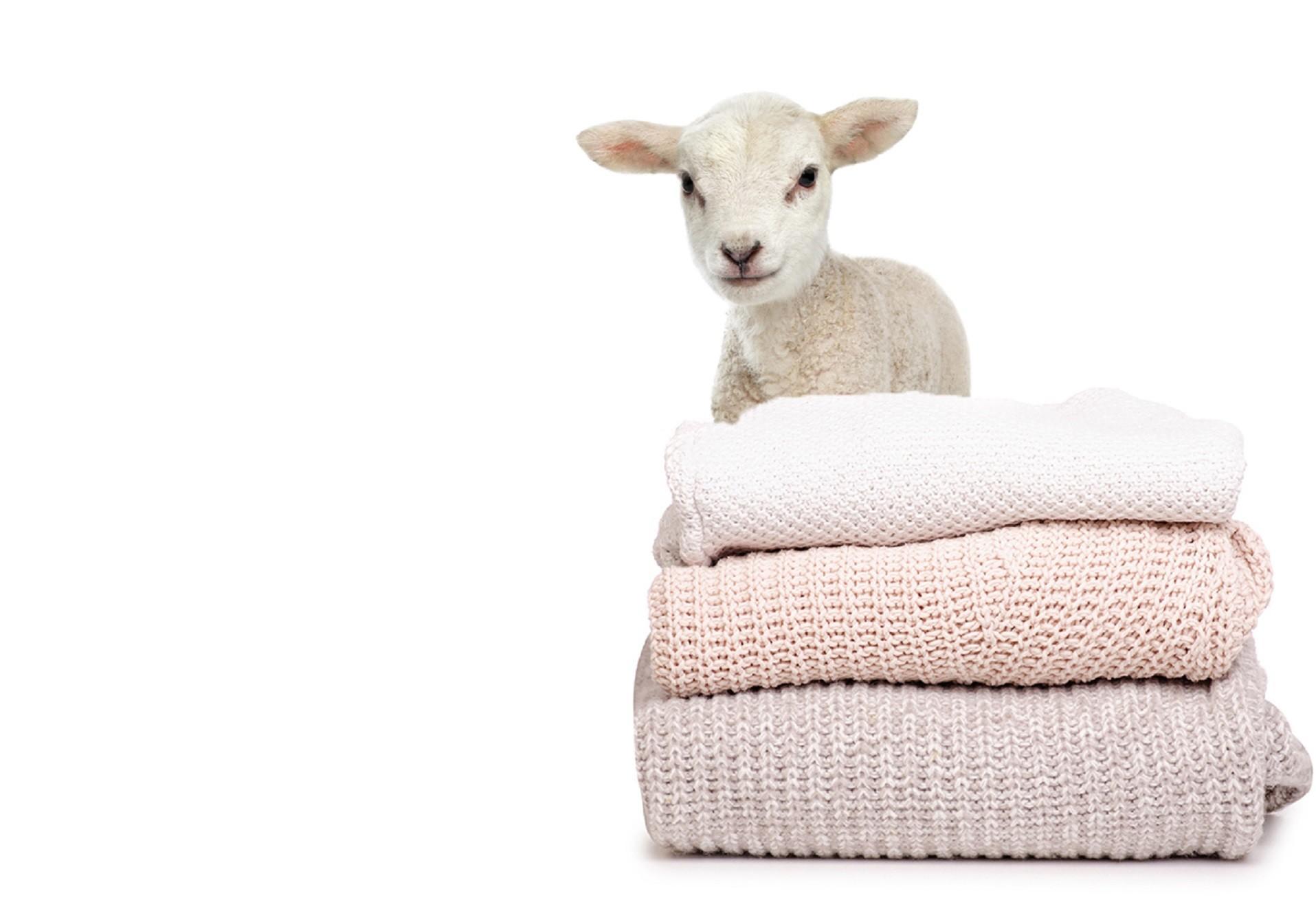 Un agneau et des pulls en laine