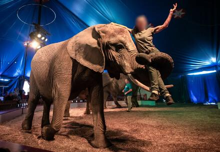 Elephant carrying his trainer as part of a circus act