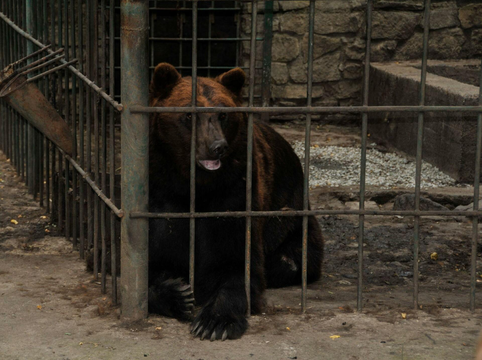 Bear Potap in a cage