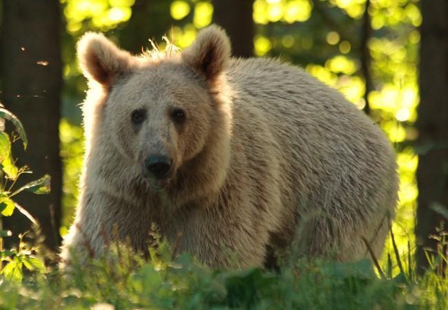 Junger Bär in der Natur, Abendsonne