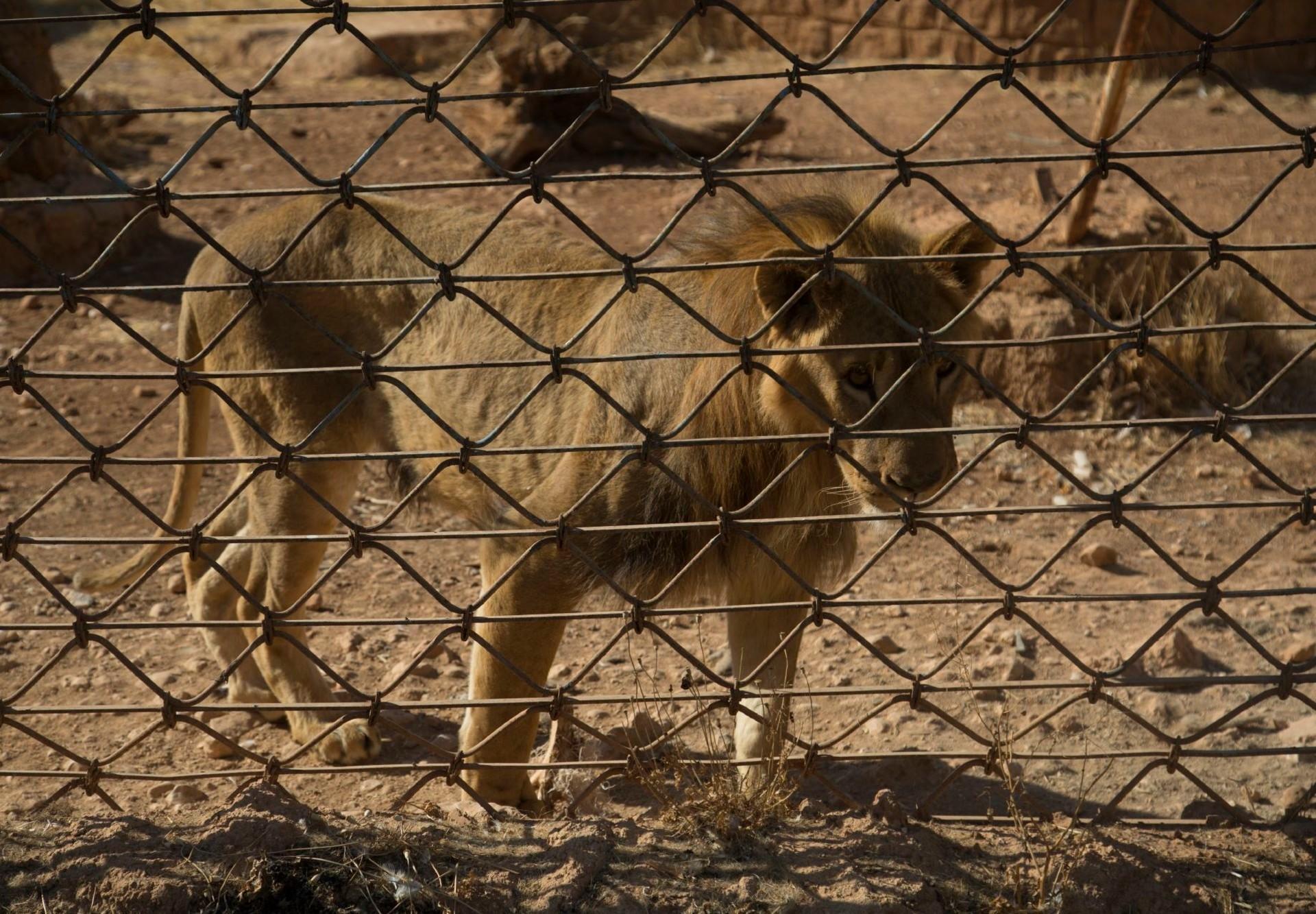 Löwe in einem Zoo nahe der syrischen Stadt Aleppo