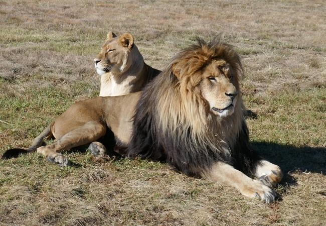 Kongo and Neida in LIONSROCK