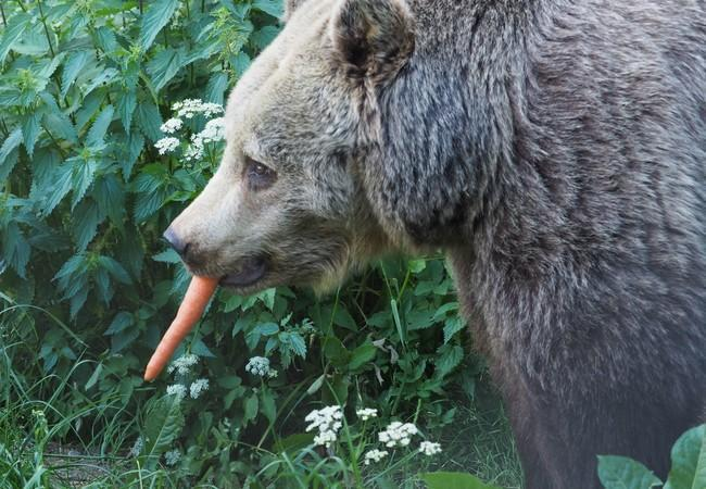Bear Brumca with a carrot in her mouth