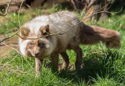Fox Zoé