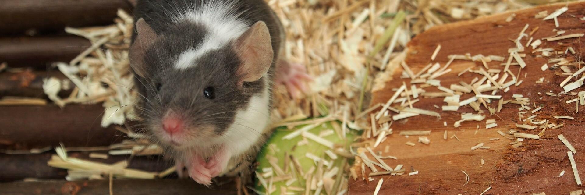 Pet mice - No easy pets