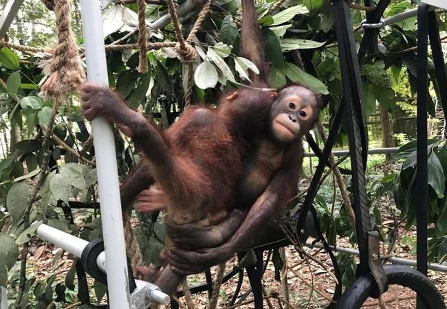 Les orangs-outans Birma et Indra
