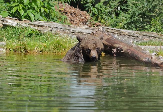 Bärin im Teich bei Holzstamm