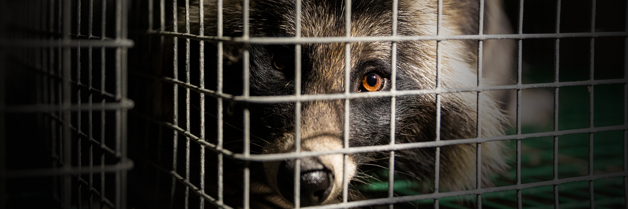 Pitiful raccoon dog in a cage in a fur farm