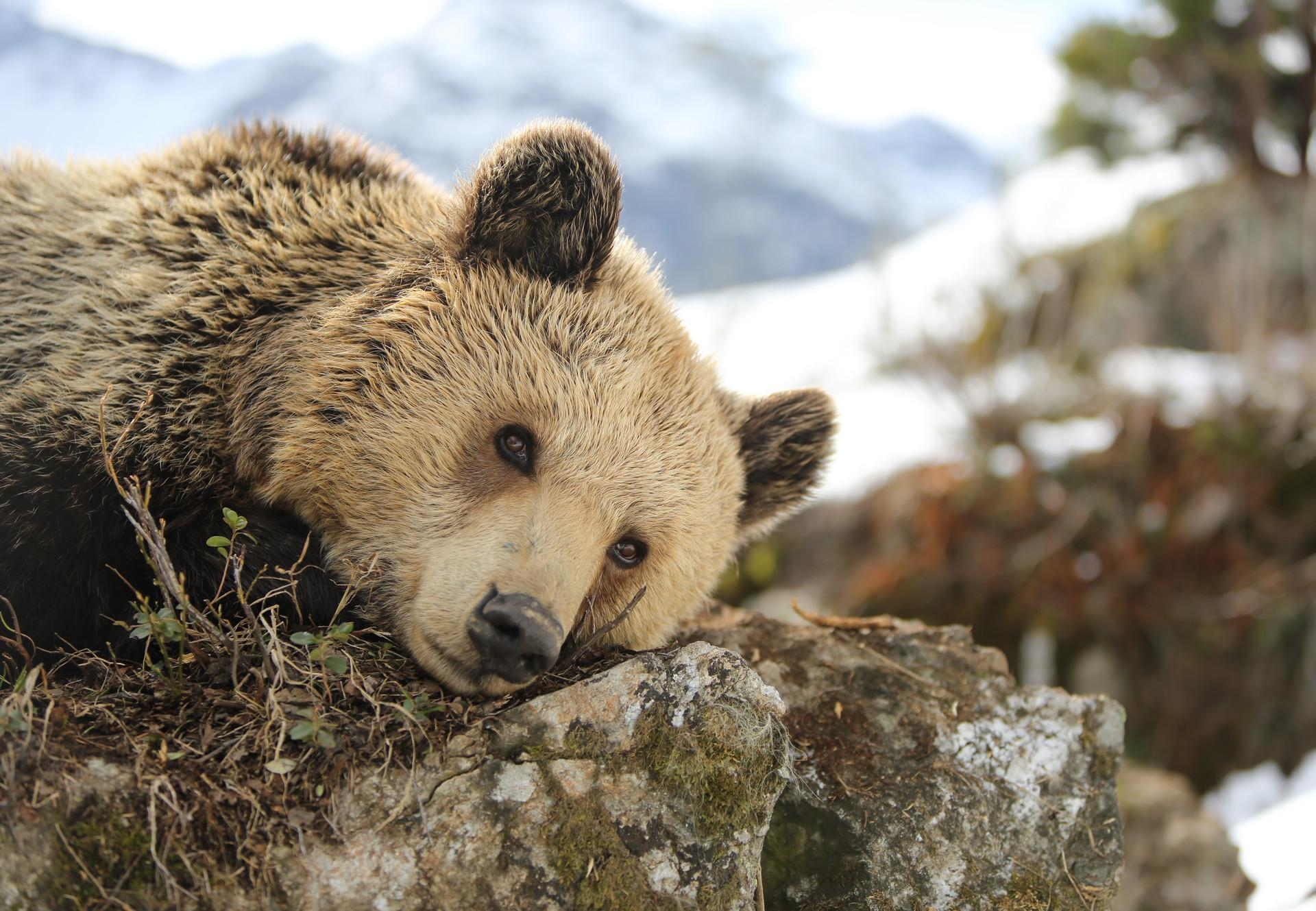Bear Amelia at Arosa Bear Sanctuary