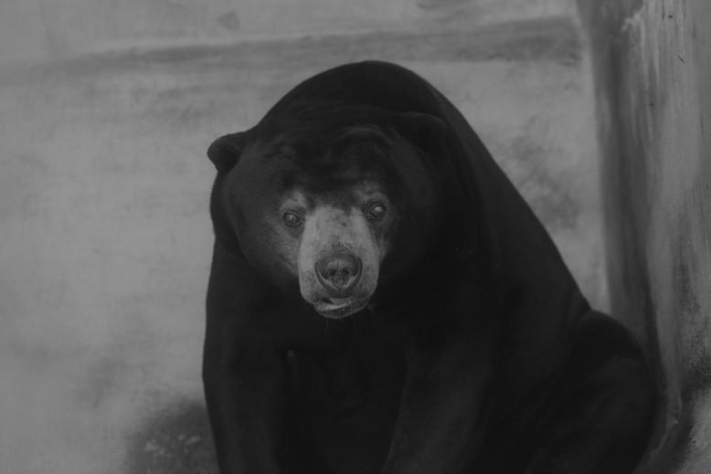 Bear Sao