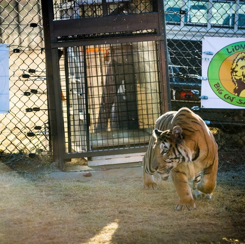 Tiger being released at LIONSROCK Big Cat Sanctuary