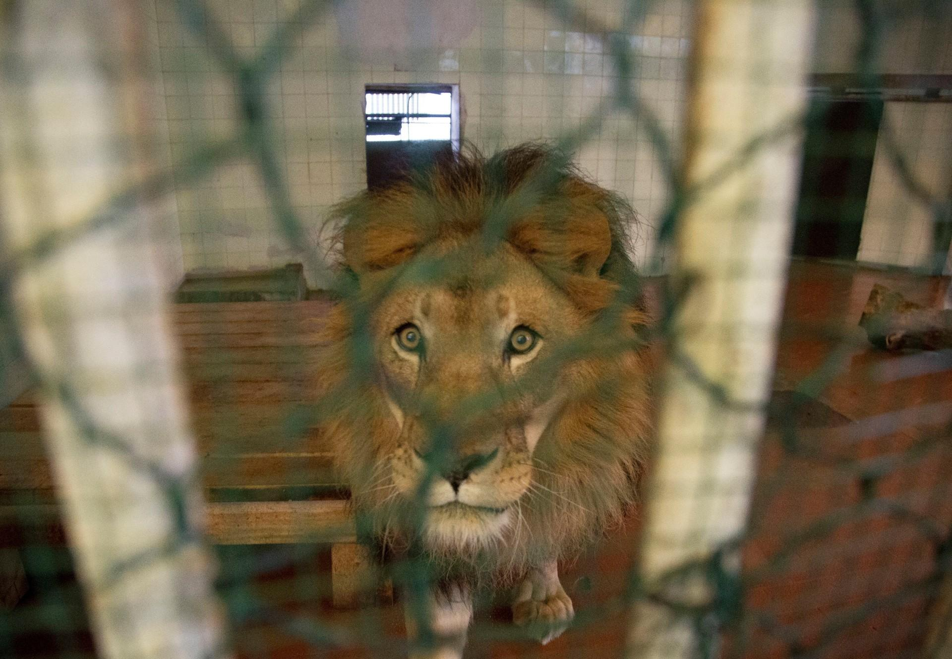 Geretteter Löwe in Albanien