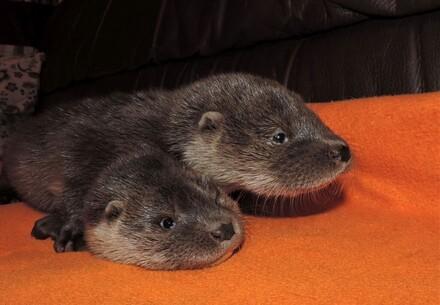 Otterbabys in der EGS