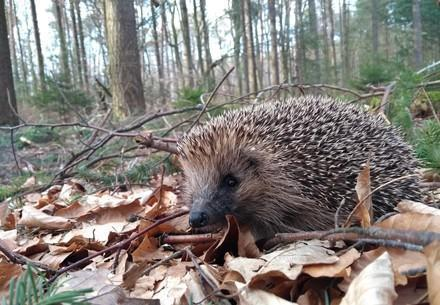 Hedgehog in the undergrowth