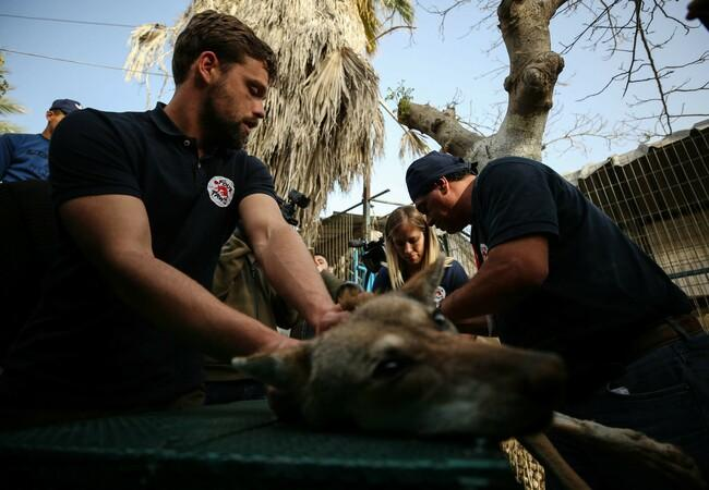 Juno helps during a vet check in Gaza