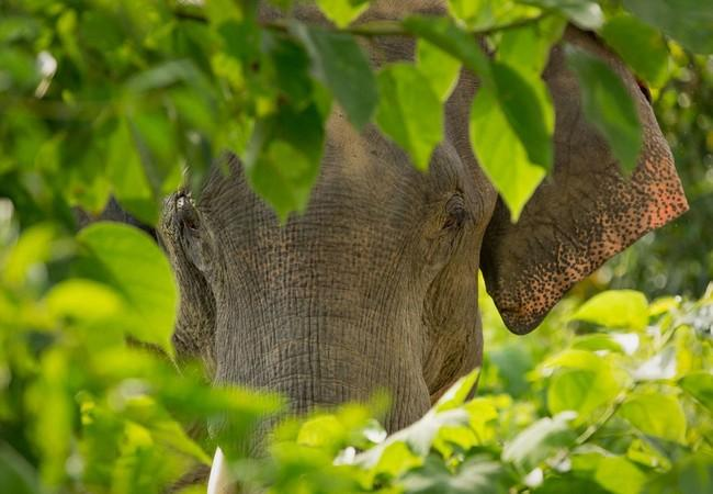 Elefant hinter Blättern