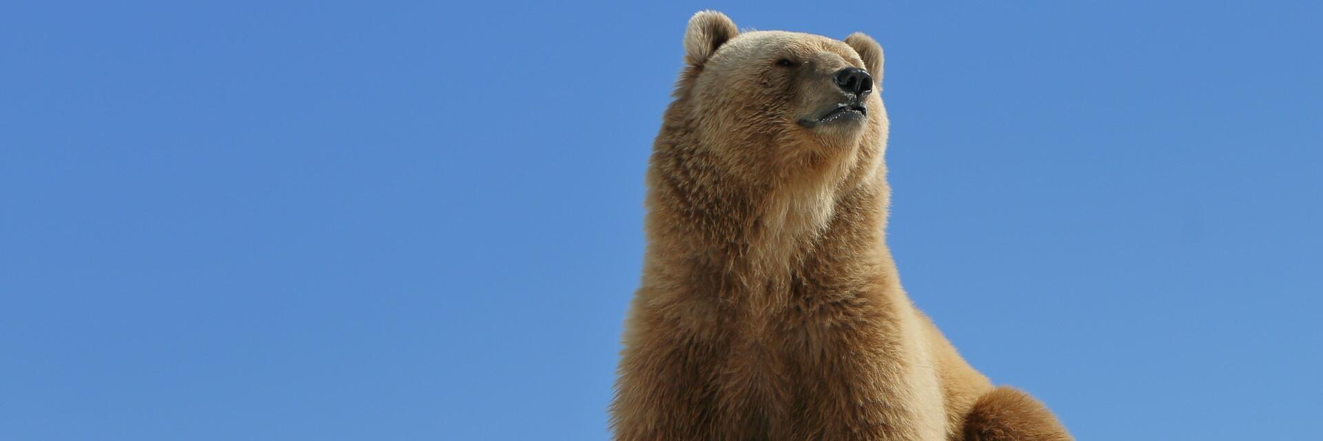 Bear Napa in AROSA