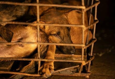 Hunde im Käfig im Schlachthaus