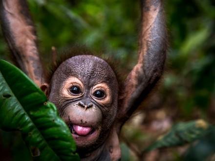 Orangutan Gerhana