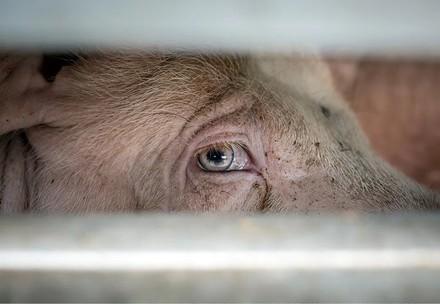 Schwein in Tiertransporter