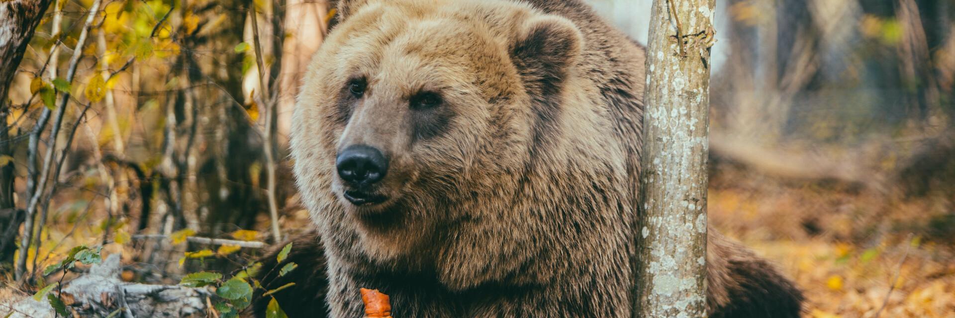 Bear Melanka in BEAR SANCTUARY Domazhyr