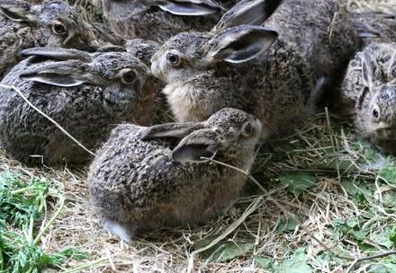 Group of young hares
